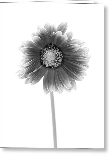Gerber Greeting Cards - Gerbera in Black and White Greeting Card by Sebastian Musial