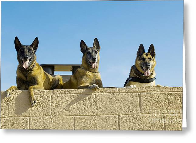 Ledge Greeting Cards - German Shephard Military Working Dogs Greeting Card by Stocktrek Images
