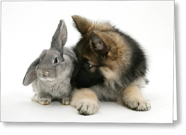 Domesticated Pet Greeting Cards - German Shepherd And Rabbit Greeting Card by Mark Taylor