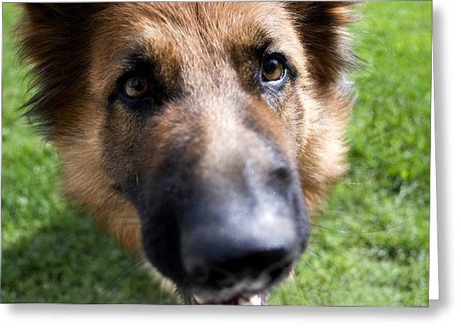 Questioning Greeting Cards - German Shepherd dog Greeting Card by Fabrizio Troiani