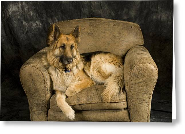 Sitting In Chair Greeting Cards - German Shepherd On Leather Chair Greeting Card by David Edwards