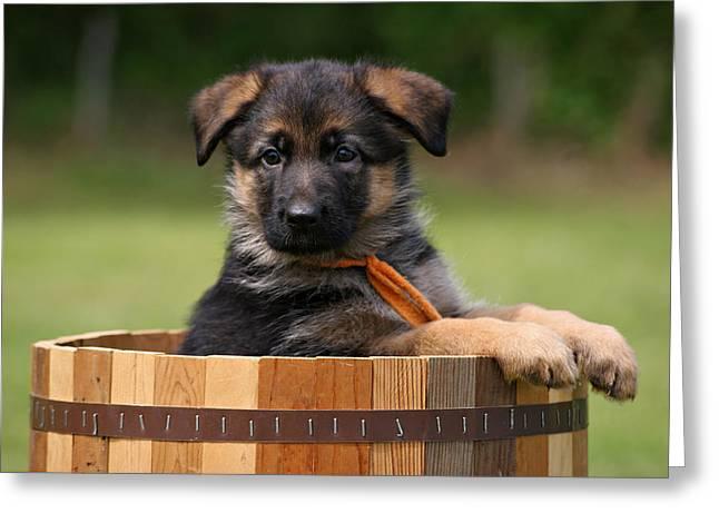 German Shepherd Art Greeting Cards - German Shepherd Puppy in Planter Greeting Card by Sandy Keeton