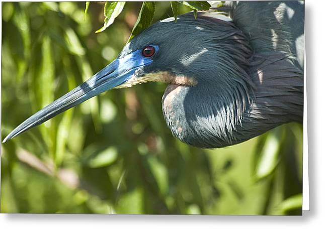 Egretta Tricolor Greeting Cards - Get My Profile Greeting Card by Carolyn Marshall