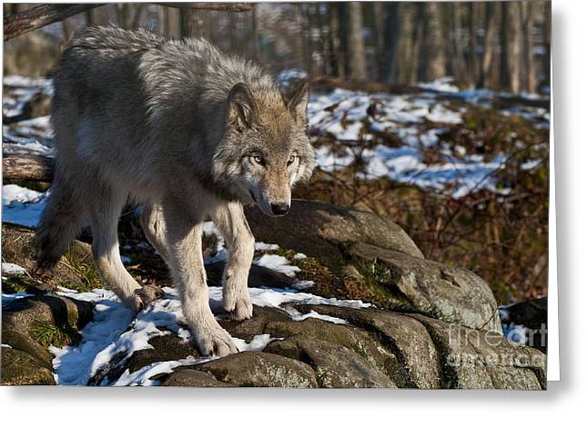 Wolves Greeting Cards - Getting Bigger Greeting Card by Michael Cummings