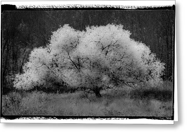 Snow Tree Prints Greeting Cards - Ghost Tree Greeting Card by Debra and Dave Vanderlaan