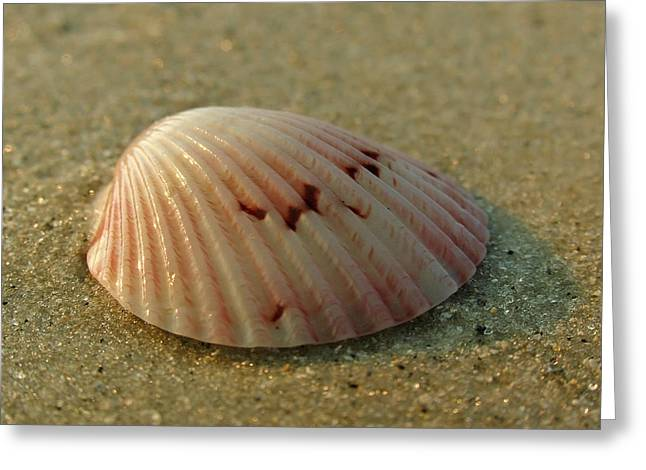 Sea Shell Art Greeting Cards - Giant Atlantic Cockle Greeting Card by Juergen Roth