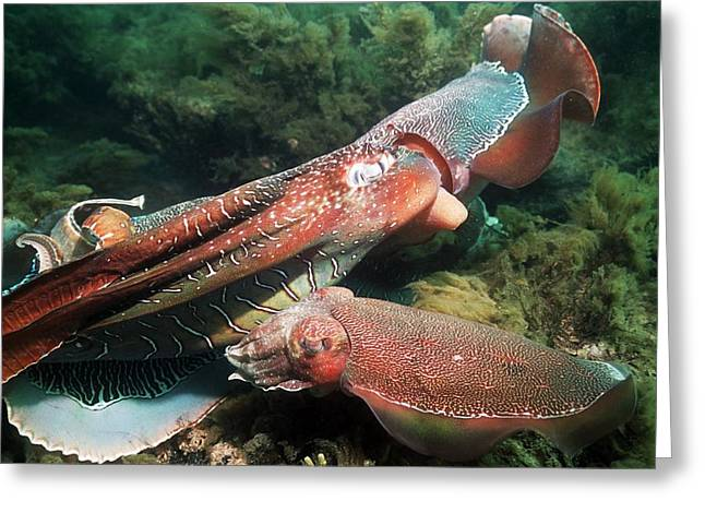Aquatic Display Greeting Cards - Giant Cuttlefish In Display Combat Greeting Card by Georgette Douwma