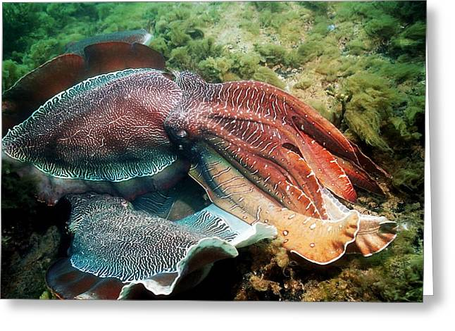 Aquatic Display Greeting Cards - Giant Cuttlefish Males Fighting Greeting Card by Georgette Douwma