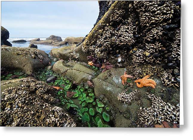 Day Lilly Greeting Cards - Giant Green Sea Anemone Anthopleura Greeting Card by Konrad Wothe