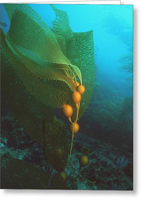 Algal Greeting Cards - Giant Kelp Greeting Card by Georgette Douwma