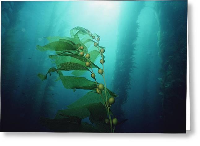 Kelp Forest Greeting Cards - Giant Kelp Macrocystis Pyrifera Forest Greeting Card by Flip Nicklin