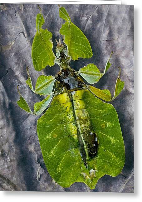 Asexual Greeting Cards - Giant Leaf Insect Greeting Card by Dirk Wiersma