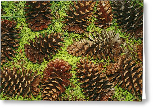 Pine Cones Greeting Cards - Giant Longleaf Pine Cones Greeting Card by Raymond Gehman