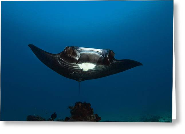 Ray Fish Greeting Cards - Giant Manta Ray Greeting Card by Matthew Oldfield