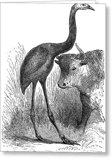 Moa Greeting Cards - Giant Moa And Prehistoric Cow, Artwork Greeting Card by