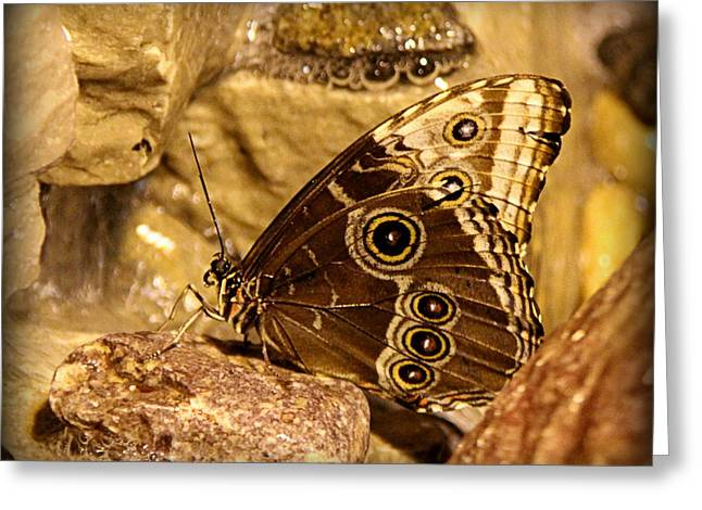 Brown Photographs Greeting Cards - Giant Owl Butterfly in Sepia Greeting Card by Tam Graff