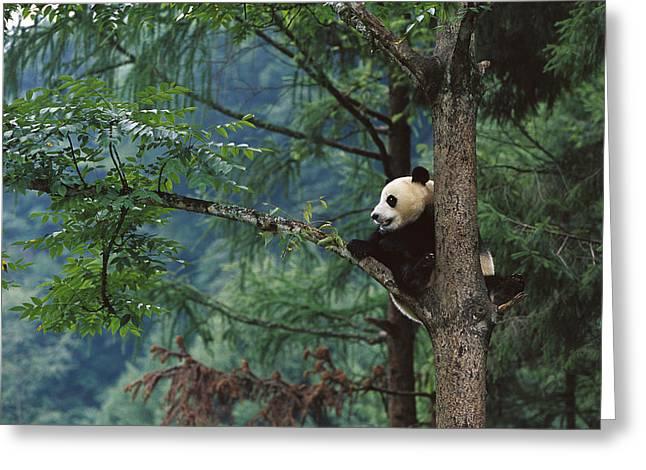 Himalayan Region Greeting Cards - Giant Panda Ailuropoda Melanoleuca Greeting Card by Cyril Ruoso