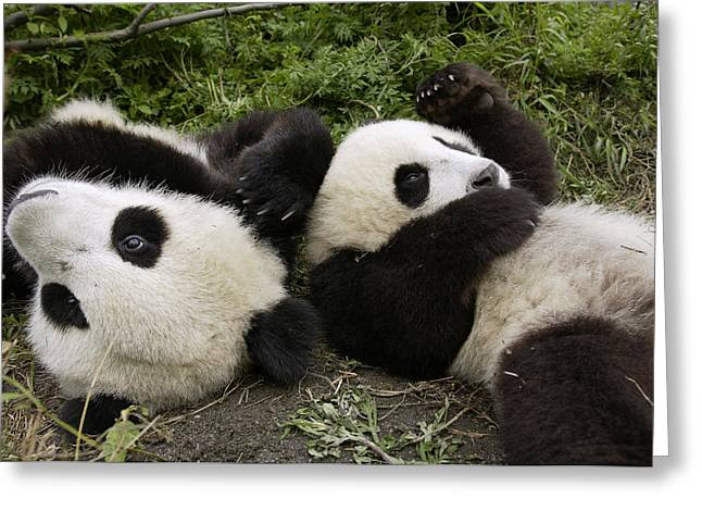 Wolong National Nature Reserve Greeting Cards - Giant Panda Ailuropoda Melanoleuca Pair Greeting Card by Katherine Feng