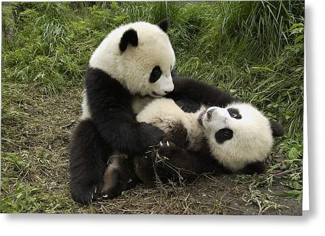 Wolong Nature Reserve Greeting Cards - Giant Panda Ailuropoda Melanoleuca Two Greeting Card by Katherine Feng