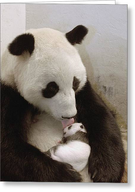 Threatened Species Greeting Cards - Giant Panda Ailuropoda Melanoleuca Xi Greeting Card by Katherine Feng