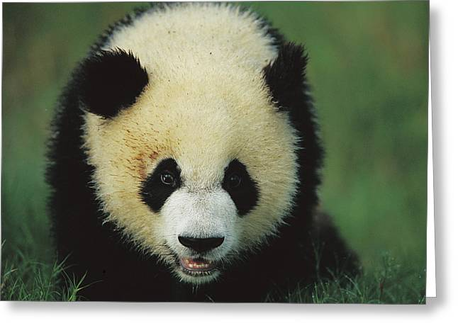 Sichuan Province Greeting Cards - Giant Panda Cub Portrait Greeting Card by Cyril Ruoso