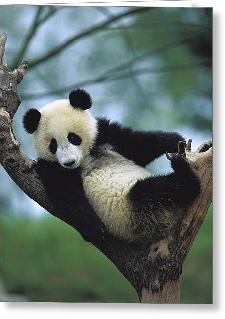 Sichuan Province Greeting Cards - Giant Panda Cub Resting In A Tree Greeting Card by Cyril Ruoso