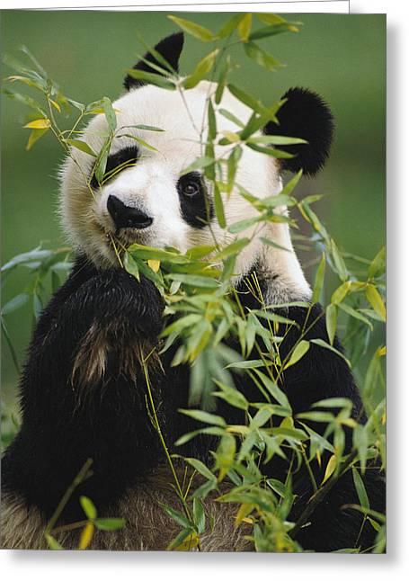 Ailuropoda Melanoleuca Greeting Cards - Giant Panda Eating Bamboo Greeting Card by Gerry Ellis