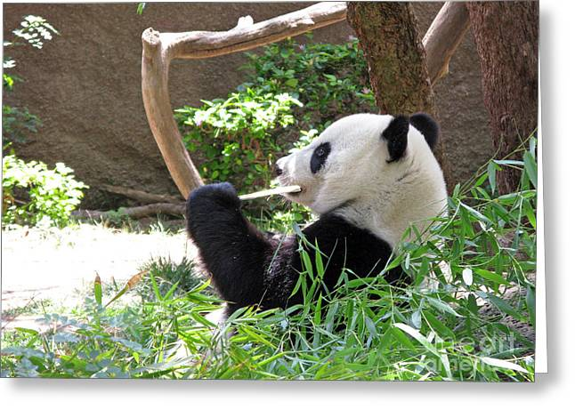 Ausra Paulauskaite Greeting Cards - Giant Panda in San Diego Zoo 77 Greeting Card by Ausra Paulauskaite