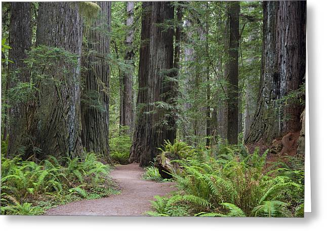Man In The Wilderness Greeting Cards - Giant Redwood Trees Along The South Greeting Card by Greg Probst