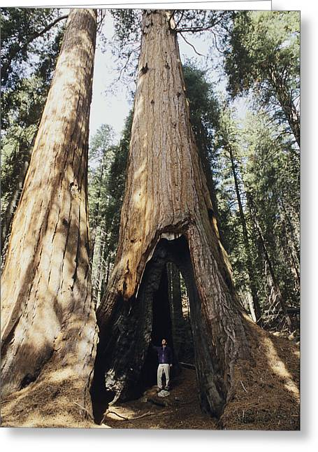 Human Tree Greeting Cards - Giant Sequoia Greeting Card by Alan Sirulnikoff