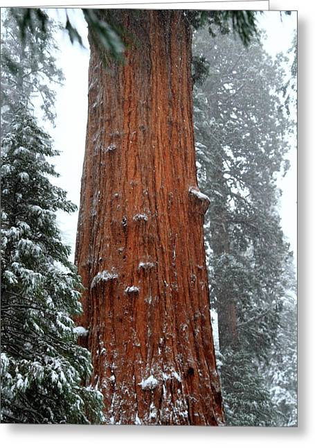 Sequoia National Park Greeting Cards - Giant Sequoia tree Greeting Card by Pierre Leclerc Photography