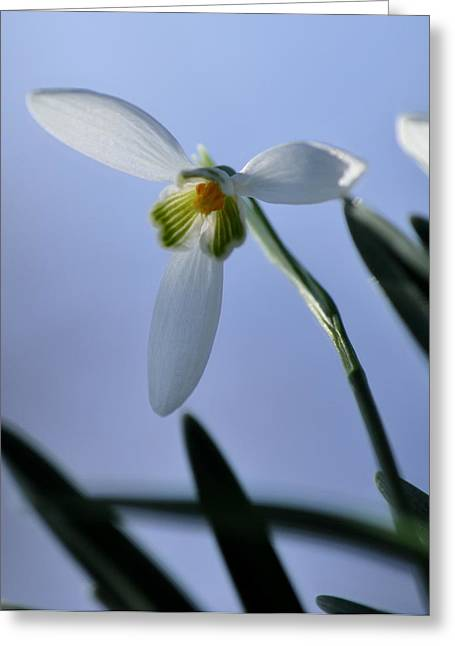 J.d. Grimes Greeting Cards - Giant Snowdrop Greeting Card by JD Grimes