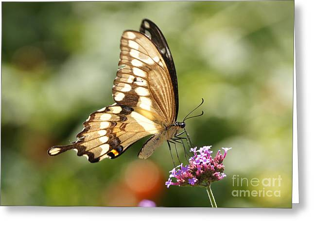 Reflections Of Infinity Greeting Cards - Giant Swallowtail Butterfly Greeting Card by Robert E Alter Reflections of Infinity