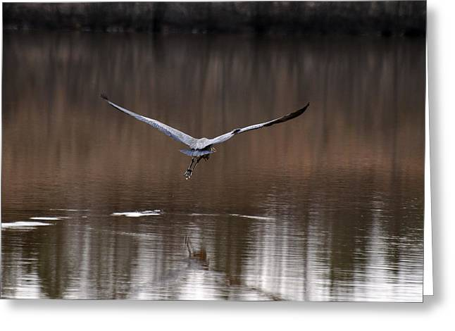 Heron Greeting Cards - Giant Wings Takeoff  - c1346a Greeting Card by Paul Lyndon Phillips