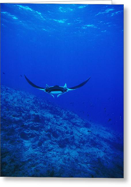 Manta Rays Greeting Cards - Gianta Pacific Manta Ray Swimming Greeting Card by James Forte