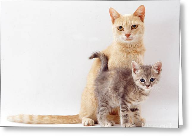 Cute Kitten Greeting Cards - Ginger Cat And Kitten Greeting Card by Jane Burton