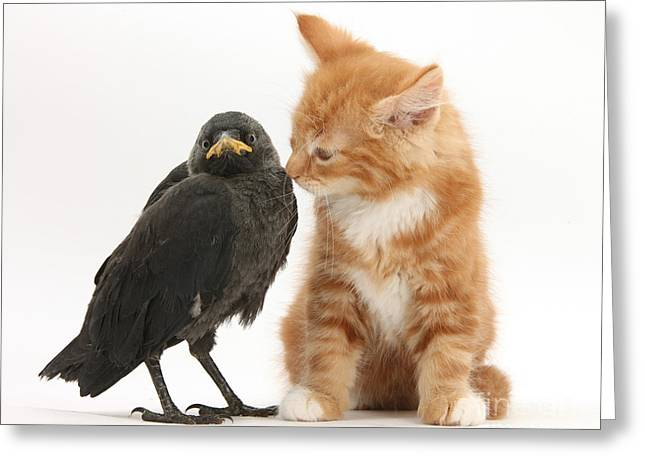 House Pet Greeting Cards - Ginger Kitten And Baby Jackdaw Greeting Card by Mark Taylor