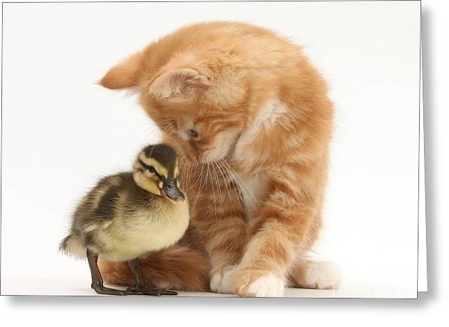 Ginger Kitten And Mallard Duckling Greeting Card by Mark Taylor