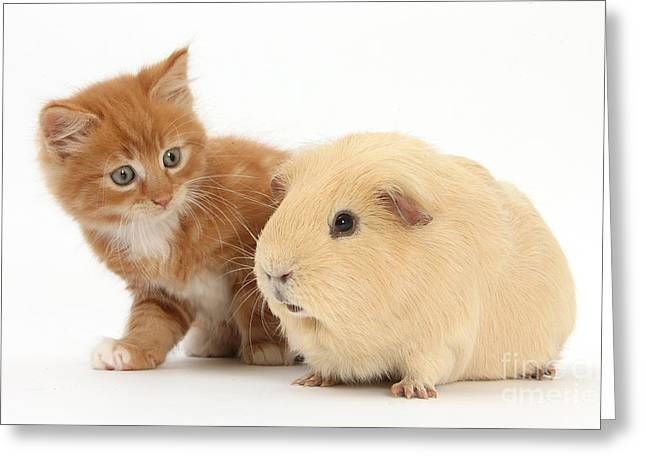 House Pet Greeting Cards - Ginger Kitten And Yellow Guinea Pig Greeting Card by Mark Taylor