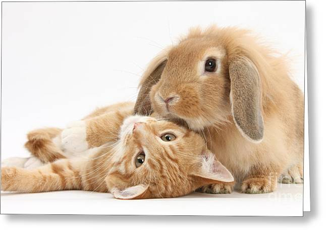 House Pet Greeting Cards - Ginger Kitten Lying With Sandy Lionhead Greeting Card by Mark Taylor