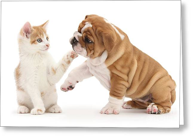 Dog And Cat Fight Greeting Cards - Ginger Kitten With Bulldog Pup Greeting Card by Mark Taylor