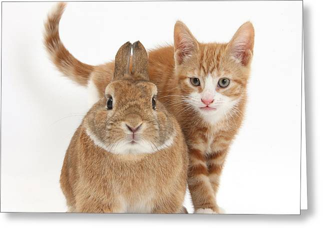 House Pet Greeting Cards - Ginger Kitten With Netherland-cross Greeting Card by Mark Taylor