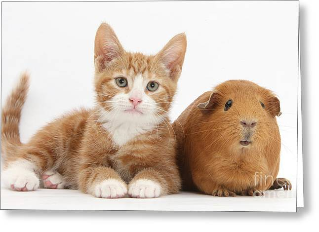 House Pet Greeting Cards - Ginger Kitten With Red Guinea Pig Greeting Card by Mark Taylor