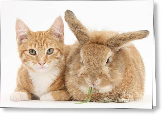 House Pet Greeting Cards - Ginger Kitten With Sandy Lionhead-cross Greeting Card by Mark Taylor