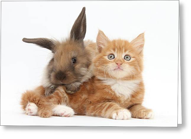 House Pet Greeting Cards - Ginger Kitten Young Lionhead-lop Rabbit Greeting Card by Mark Taylor
