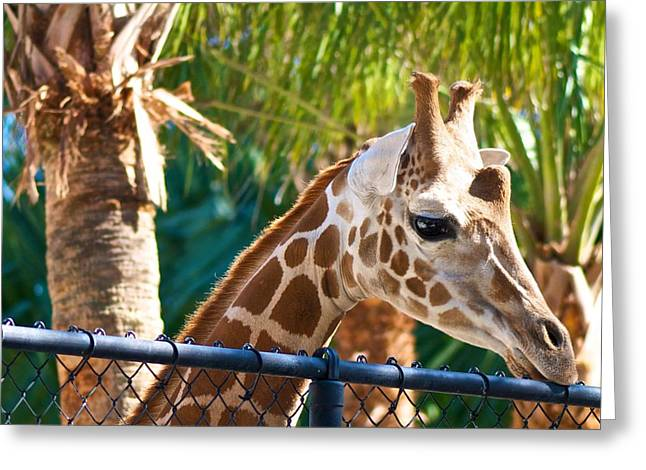 Giraffe Greeting Card by Jack Scicluna