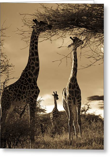 Looking Around Greeting Cards - Giraffe Stretch Their Necks To Reach Greeting Card by Ralph Lee Hopkins