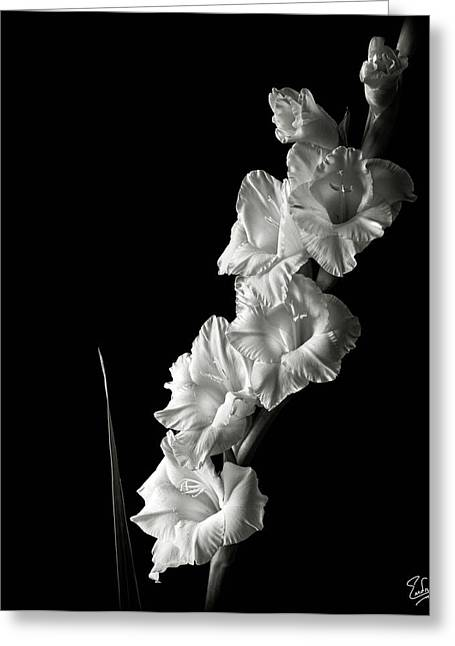 Gladiolas Greeting Cards - Gladiolas in Black and White Greeting Card by Endre Balogh