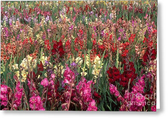 Gladioli Garden in Early Fall Greeting Card by Yva Momatiuk and John Eastcott and Photo Researchers