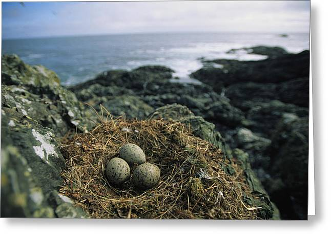 North Vancouver Greeting Cards - Glaucous-winged Gull Nest With Three Greeting Card by Joel Sartore